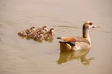 Free Geese Royalty Free Stock Images - 5890729