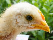 Free Chicken Royalty Free Stock Photography - 5891867