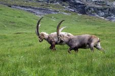 Free Austrian Ibexes IV Stock Photo - 5891870