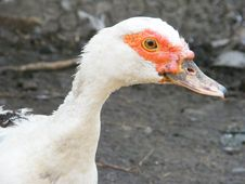 Free Duck Royalty Free Stock Photography - 5891877
