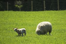 Sheep With Its Lamb Stock Photography