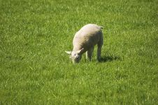 Free Young Lamb Grazing Royalty Free Stock Images - 5892049