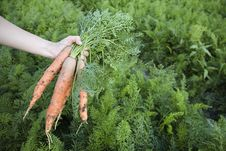 Free Fresh Carrots Picked On Field Royalty Free Stock Photos - 5892788