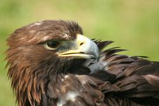 Free Eagle Head Turned Stock Photography - 5893872
