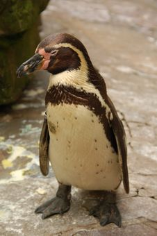Free Penguin Stock Photography - 5894082