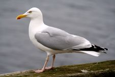 Free Seagull Stock Photos - 5895433