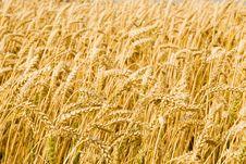 Free Wheat Field Stock Photo - 5895950