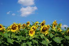 Free Sunflower Royalty Free Stock Image - 5896196