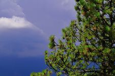 Free Pine Vs Storm Stock Images - 5897264