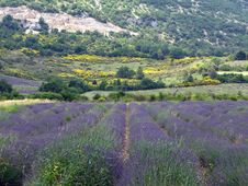Free Lavender Fields For Essential Oils Royalty Free Stock Images - 5897359