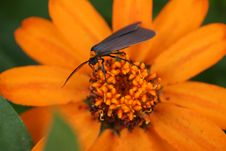 Free Bug On Orange Daisy Stock Photography - 5897502