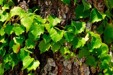Free Little Grape On A Log  2 Stock Photography - 5897712