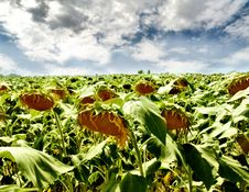 Free Sunflower Royalty Free Stock Photos - 5897798