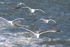 Free San Francisco Seagulls Royalty Free Stock Images - 5898009