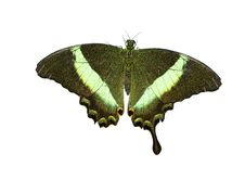 Free Black With Green Butterfly Royalty Free Stock Image - 5898556