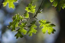 Free Backlit Oak Leaves Stock Images - 5899054
