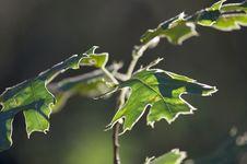 Free Backlit Oak Leaves Royalty Free Stock Image - 5899056
