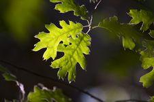Free Backlit Oak Leaves Stock Images - 5899064