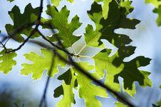 Free Backlit Oak Leaves Stock Images - 5899134