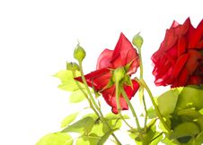 Free Roses Under The Sunlight Royalty Free Stock Photography - 5899267