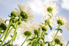 Free Wild Daisy Royalty Free Stock Photography - 5899277