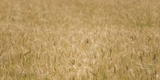 Free Wheat Field Stock Images - 5899294