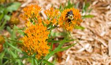 Bumble Bee Royalty Free Stock Photo
