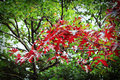 Free Red Autumn Leaves Against Green Trees Stock Photo - 58955900