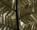 Free Vintage Fern Stock Images - 595794