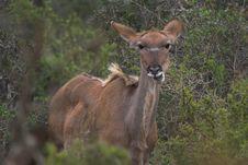 Free Feeding Kudu Stock Image - 590181