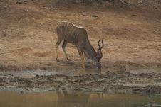 Free Drinking Kudu Stock Images - 590184