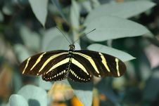 Heliconius On Leaves
