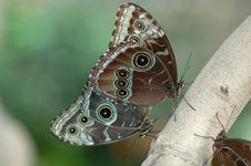 Free Mating Of Morphos Royalty Free Stock Photography - 590617