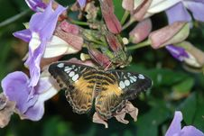 Free Clipper ( Parthenos Sylvia) On Lavender Flowers Royalty Free Stock Images - 590629