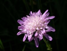 Free Scabiosa Stock Photography - 591322