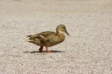 Free Duck Walking Stock Photography - 591522