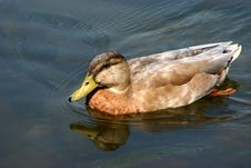 Free Duck Stock Images - 591534