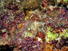 Free Phyllodesmium Briareum Stock Image - 592311