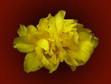 Free Yellow Double Tulip Royalty Free Stock Photos - 592318