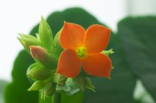Free Red Kalanchoe 4 Stock Image - 592671