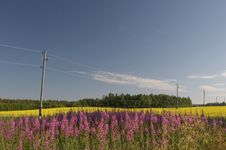 Free Field With Yelow And Violet Flowers Royalty Free Stock Photography - 592707