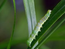 Free Caterpillar Of The Butterfly Of Family Noctidae. Stock Images - 592764