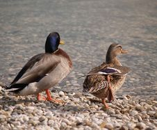 Free Ducks Stock Photography - 593152