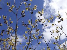 Free Yellow Witchhazel Royalty Free Stock Photography - 593477