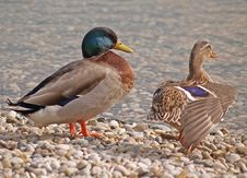 Free Ducks Royalty Free Stock Photography - 593617
