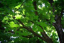 Free A Leafy Tree Royalty Free Stock Images - 593639