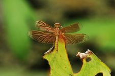 Free Golden Dragonfly On Leaf Royalty Free Stock Photography - 594507