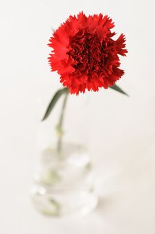 Red Carnation Stock Photos