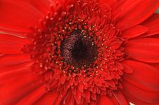 Free Close Up Of A Red Daisy Royalty Free Stock Image - 594866