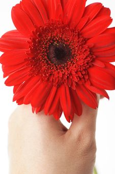 Free Hand Holding Red Daisy Royalty Free Stock Photos - 594868